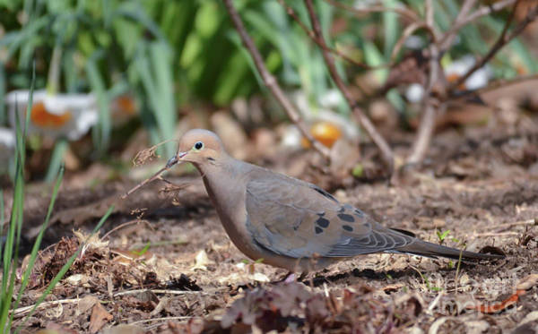 Photograph - Mourning Dove Gathering Twigs by Kerri Farley