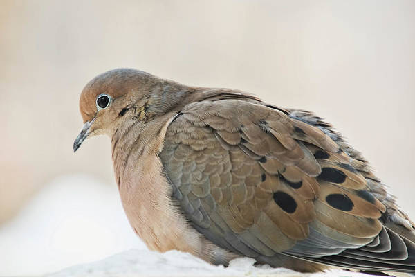 Photograph - Mourning Dove In Snow by Peggy Collins