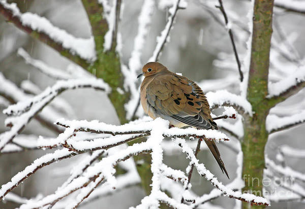 Photograph - Mourning Dove In Snowstorm by Kevin McCarthy