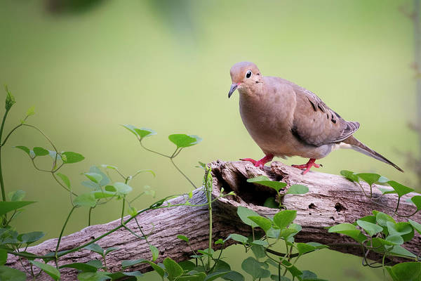 Photograph - Mourning Dove On Log by Bill Wakeley