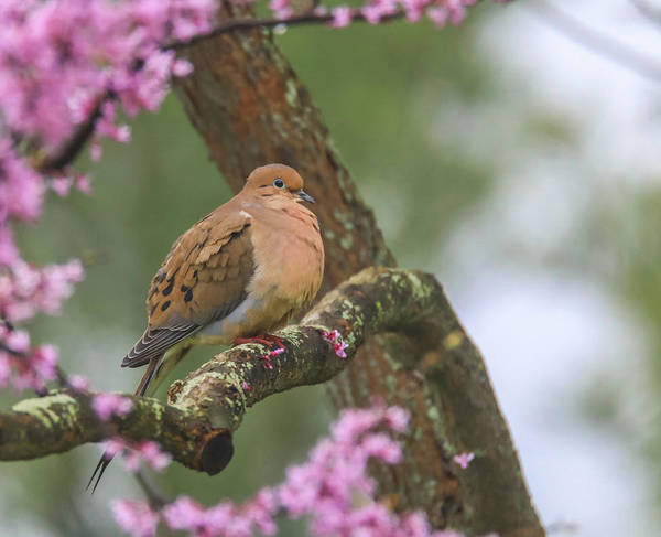 Photograph - Mourning Dove On Redbud by Dan Sproul