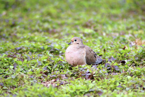 Photograph - Mourning Dove Resting by Cynthia Guinn