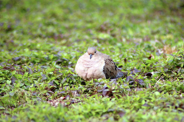 Photograph - Mourning Dove Stare by Cynthia Guinn