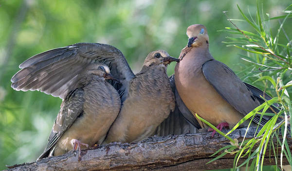 Photograph - Mourning Doves 1690-052219 by Tam Ryan