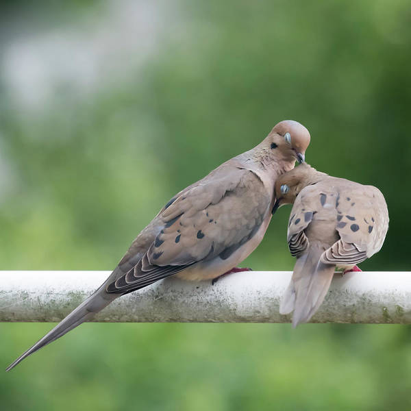Photograph - Mourning Love Doves Square by Terry DeLuco