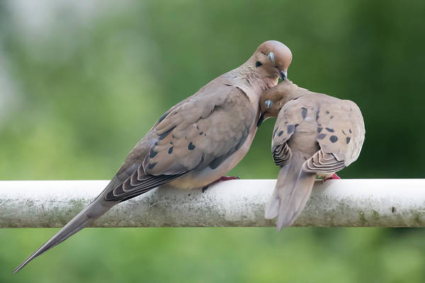 Photograph - Mourning Love Doves by Terry DeLuco