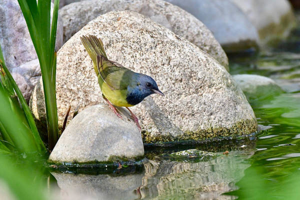Wall Art - Photograph - Mourning Warbler 3567 by Michael Peychich