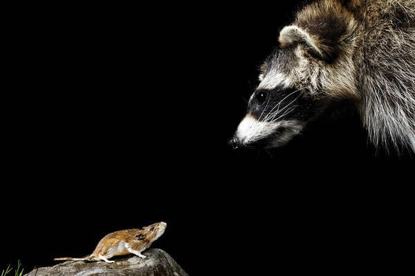 Raccoon Photograph - Mouse Looking Up At Raccoon by Jan Stromme
