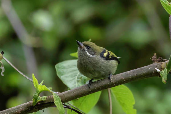 Photograph - Moustached Tinkerbird by Thomas Kallmeyer