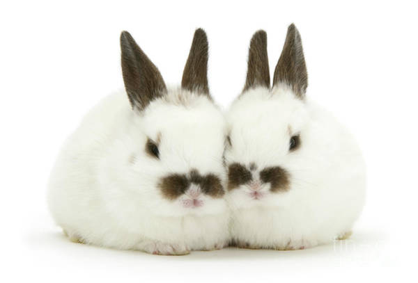 Photograph - Moustachioed Love Bunnies by Warren Photographic