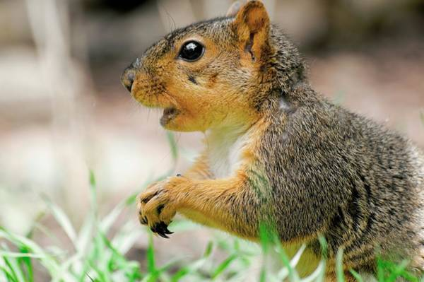 Photograph - Mouthy Fox Squirrel by Don Northup