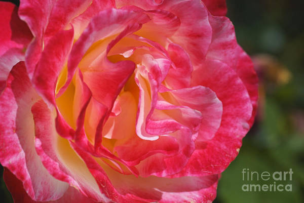 Photograph - Movement Within The Pink Rose by Joy Watson