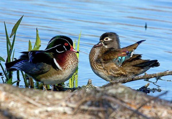 Wall Art - Photograph - Mr And Mrs. Wood Duck by TJ Baccari