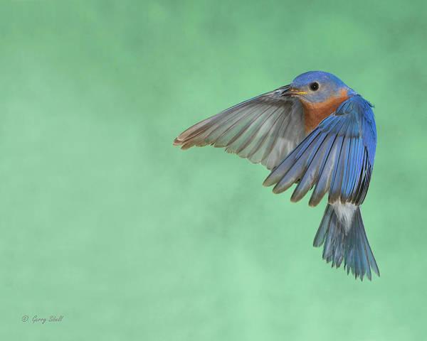 Photograph - Mr. E Bluebird by Gerry Sibell