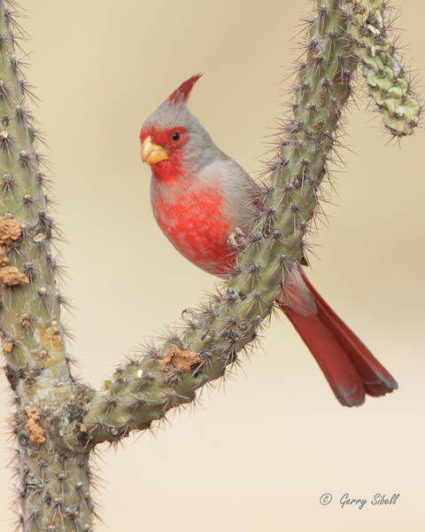Photograph - Mr. Pyrrhuloxia by Gerry Sibell