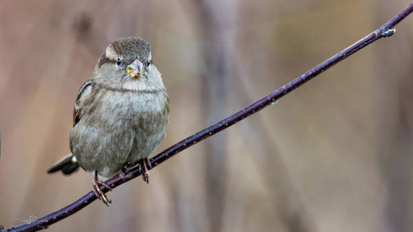 Photograph - Mrs House Sparrow Perching On The Twig by Torbjorn Swenelius