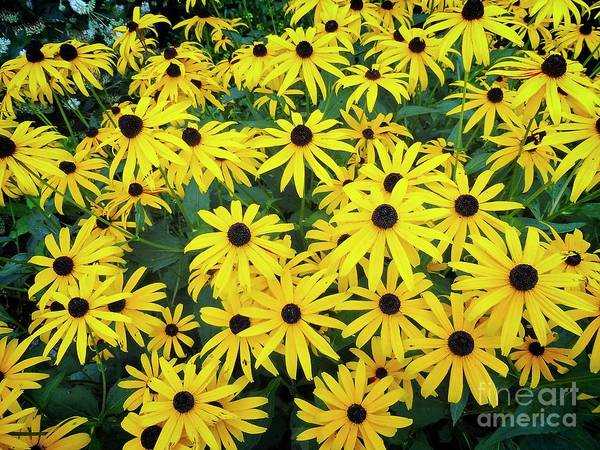 Digital Art - M's Black Eyed Susan Cluster by Dee Flouton