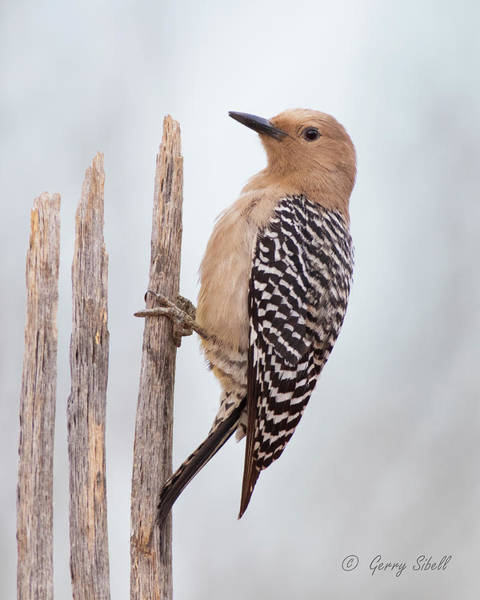 Photograph - Ms G Woodpecker by Gerry Sibell