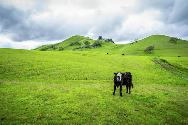 Wall Art - Photograph - Mt Diablo Cow by Scott McGuire
