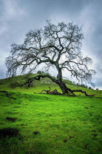 Wall Art - Photograph - Mt Diablo Oak Tree by Scott McGuire