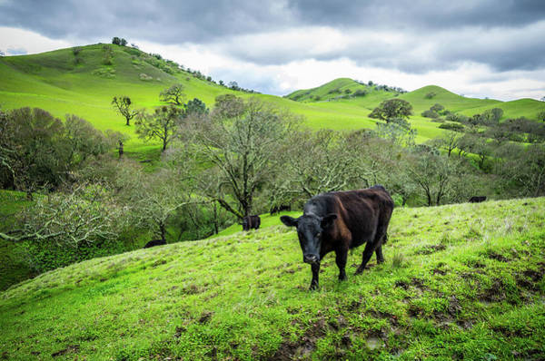 Wall Art - Photograph - Mt. Diablo Spring Hillside Cattle by Scott McGuire