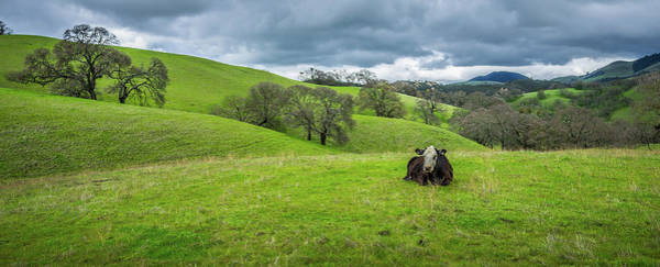 Wall Art - Photograph - Mt. Diablo Spring Hillside Cow by Scott McGuire