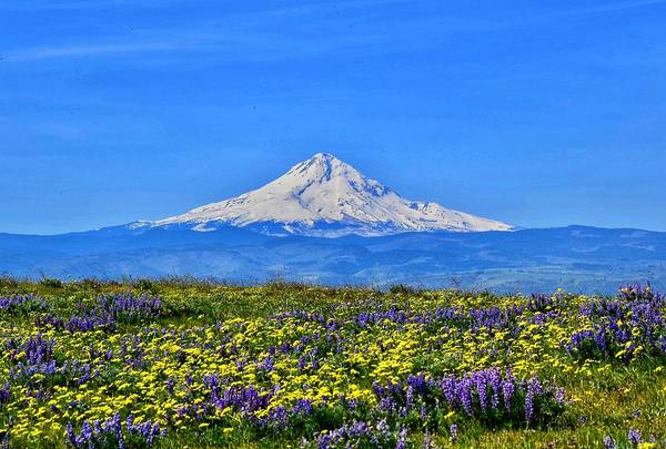 Wall Art - Photograph - Mt. Hood And Wildflowers by Dana Hardy