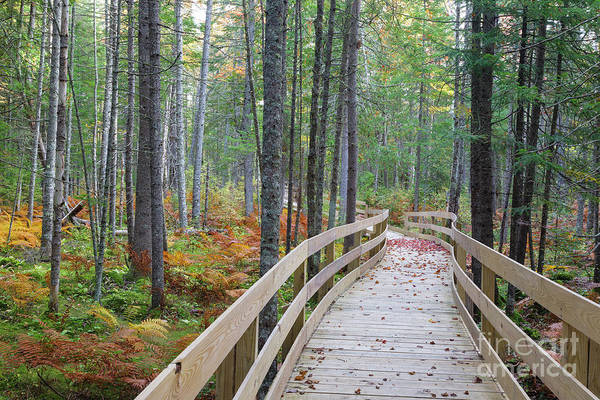 Photograph - Mud Pond Trail - Pondicherry Wildlife Refuge, New Hampshire by Erin Paul Donovan