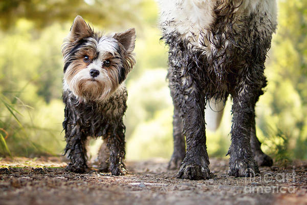 Muddy Little Dog Stands Next To A Muddy Art Print by Stickler