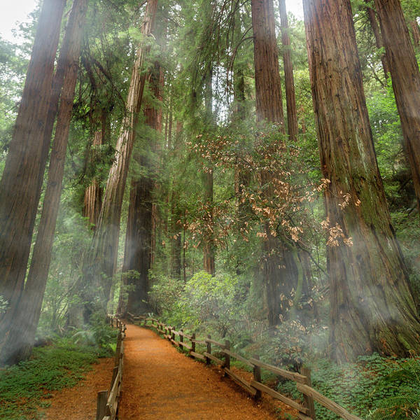 Wall Art - Photograph - Muir Woods California Mystical Adventure by Betsy Knapp