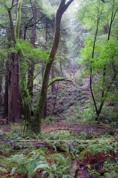 Photograph - Muir Woods Mist by Mark Duehmig