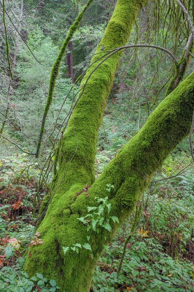 Photograph - Muir Woods Moss by Mark Duehmig