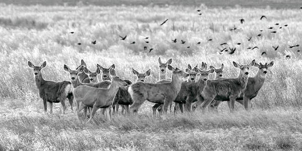 Photograph - Mule Deer Black And White 01 by Rob Graham