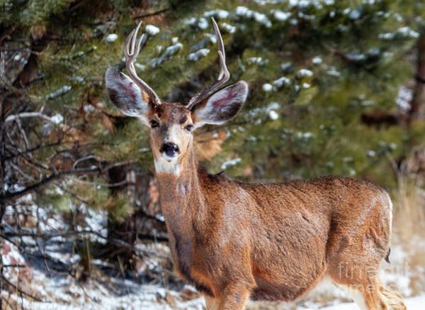 Photograph - Mule Deer Buck In The Winter by Steve Krull