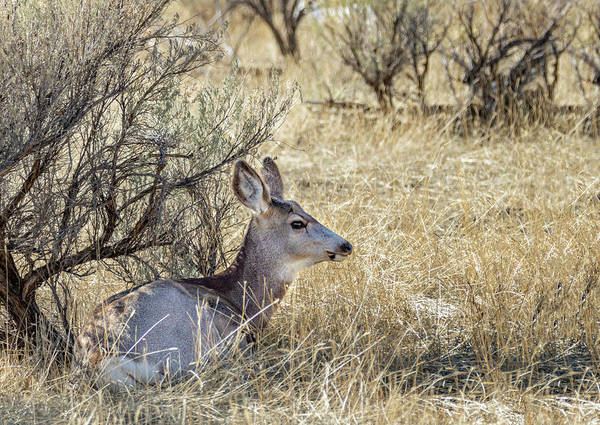 Photograph - Mule Deer Doe by Michael Chatt