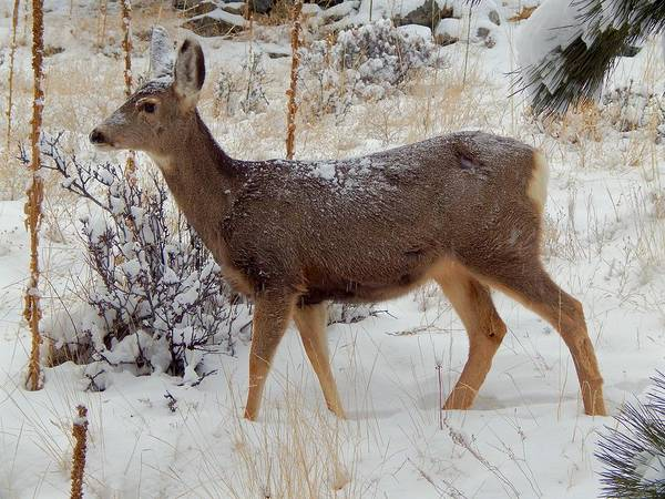 Photograph - Mule Deer In The Snow by Dan Miller