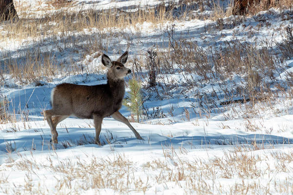 Photograph - Mule Deer In The Winter by Steve Krull
