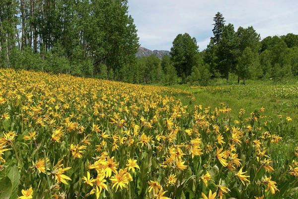 Wall Art - Photograph - Mule's Ear And Aspen Forest Landscape by Cascade Colors
