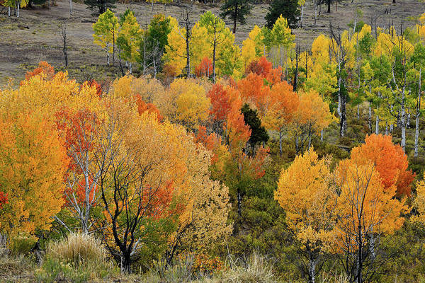 Photograph - Multi-colored Aspens Above Ridgway Colorado by Ray Mathis