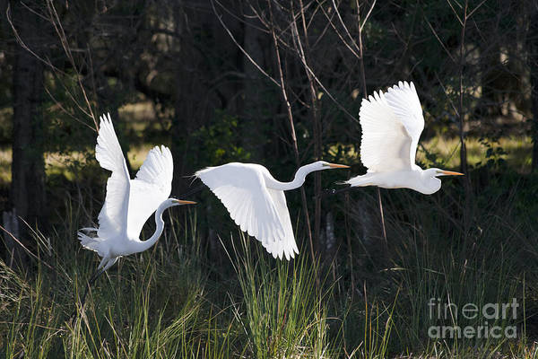 Everglades Wall Art - Photograph - Multiple Exposures Of Large White Bird by David Alexander Stein