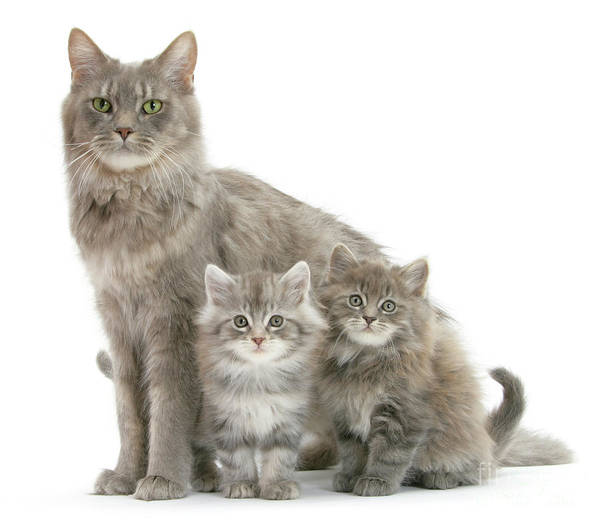 Photograph - Mum Cat And 2 Kits by Warren Photographic