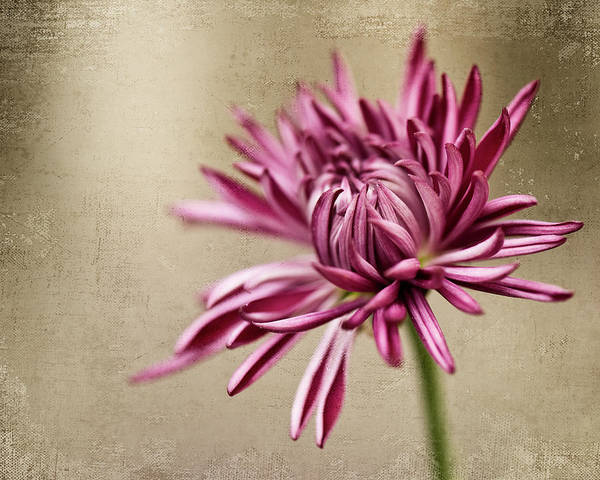 Photograph - Mum Flower by Jody Trappe Photography