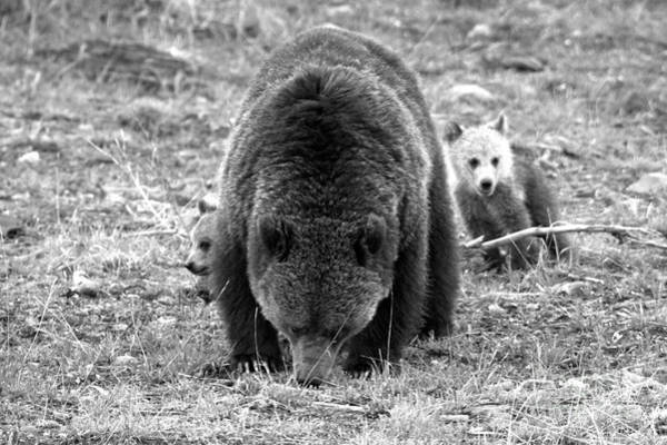 Photograph - Munching With The Coy Grizzly Cubs Black And White by Adam Jewell