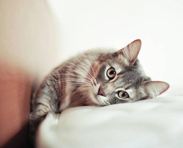 Okayama Prefecture Photograph - Munchkin Cat Lying On The Bed by Nazra Zahri