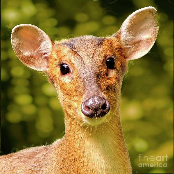 Photograph - Muntjac Deer by Martyn Arnold