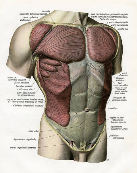 Description Digital Art - Muscles And Ligaments Of Torso by Graphicaartis