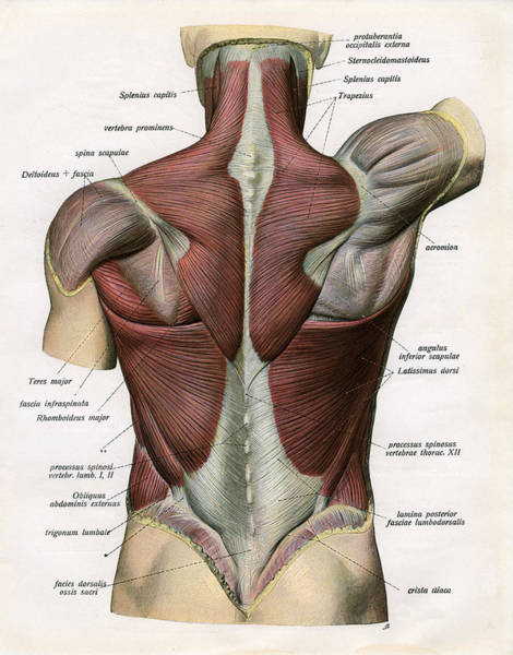 Representation Digital Art - Muscles Of The Human Back by Graphicaartis