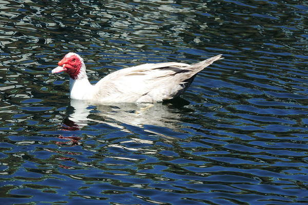 Muscovy Photograph - Muscovy Duck by Bill Tomsa