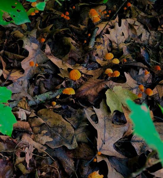 Photograph - Mushrooms And Leaf Litter by Lukas Miller