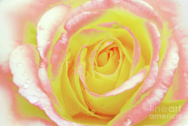 Wall Art - Photograph - Music Box Rose In The Rain by Regina Geoghan